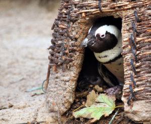 Am 1. Advent schauen auch die Pinguine aus ihren Hütten.